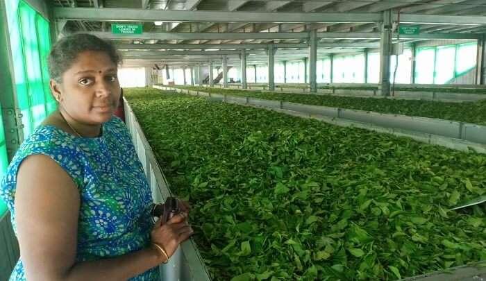 world's finest Orange Pekoe tea factory