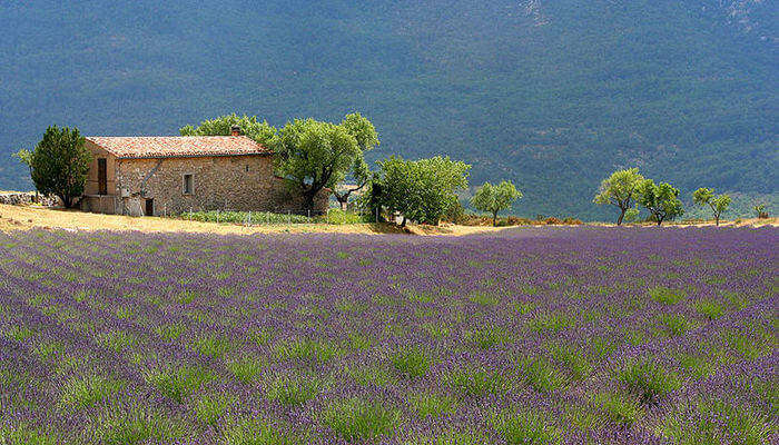 Lavender_farm