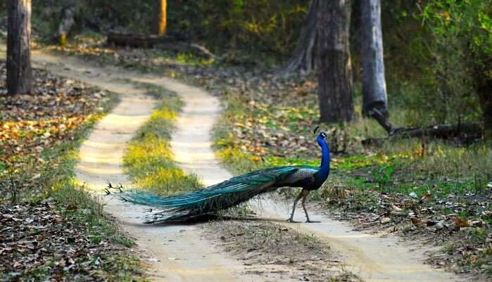 Peacock National Bird Of India - Kanha National Park
