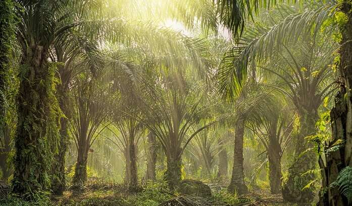 Red Palm Oil Plantation