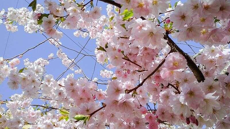 Sakura No Toorinuke