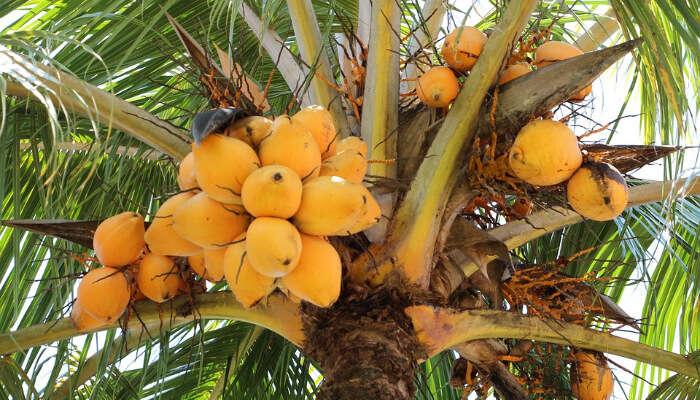 Savor Orange Coconut