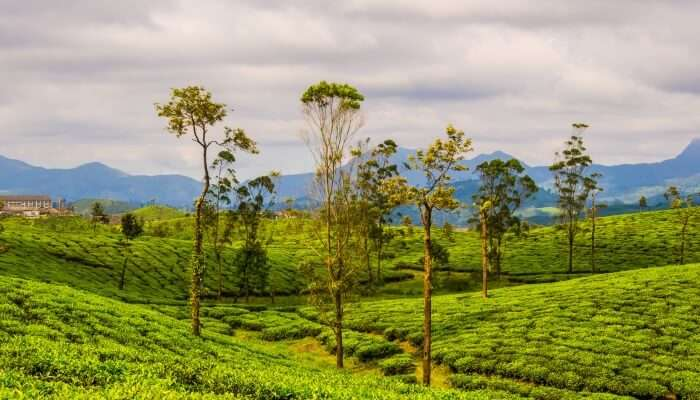 tea estate with mountains in the backdrop