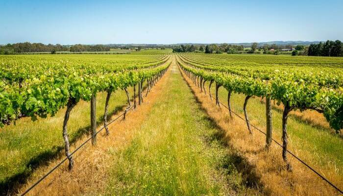 Vineyards in Barossa Valley