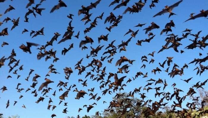 Mexicab Bats