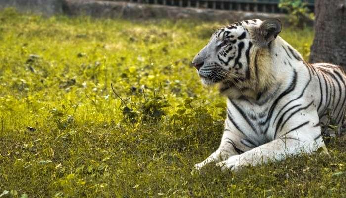 vijay (White Tiger)