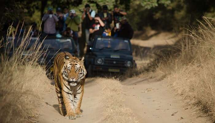 tiger roaming in Bandhavgarh National Park