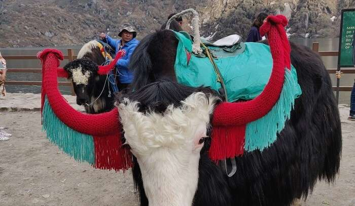 yak ride near Tshangu Lake