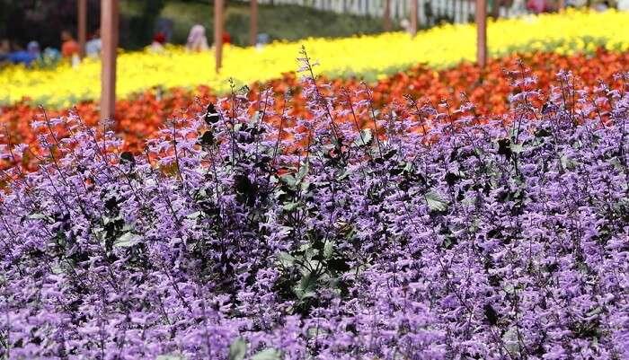 Lavender Farm Malaysia