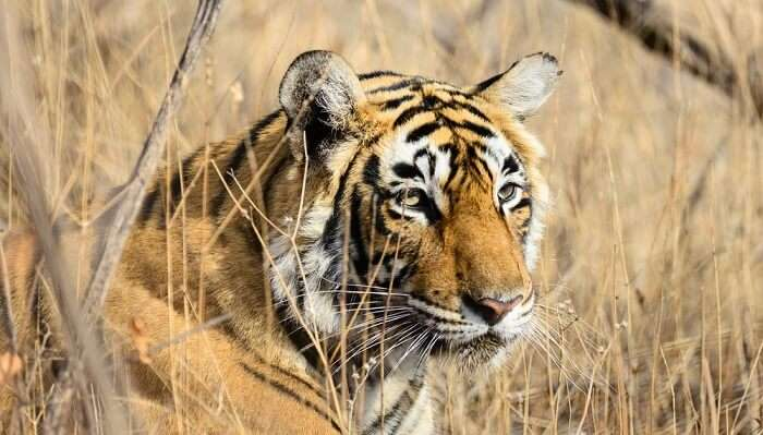 tiger relaxing in Pench National Park