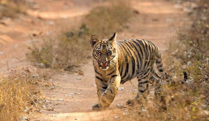 Tadoba Andhari Tiger Reserve, Maharashtra