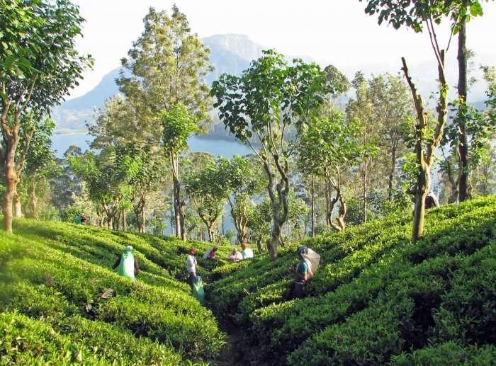 Tea garden in Sri Lanka