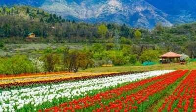 kashmir tulip valley