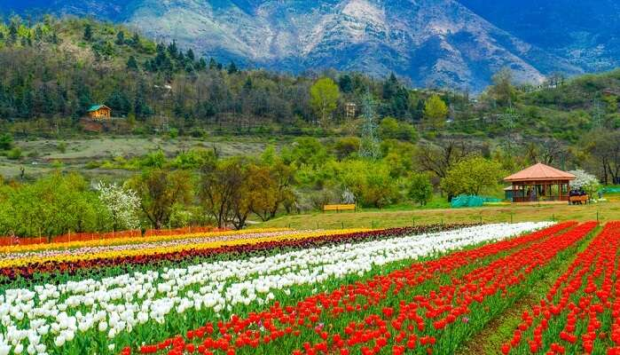 kashmir tulip valley
