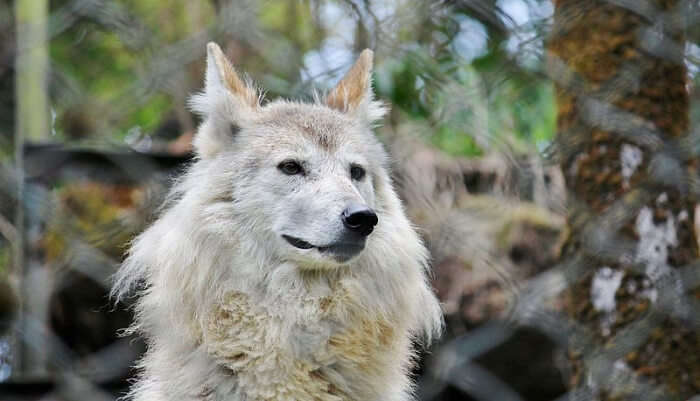 Meet The Endangered Himalayan Wolf