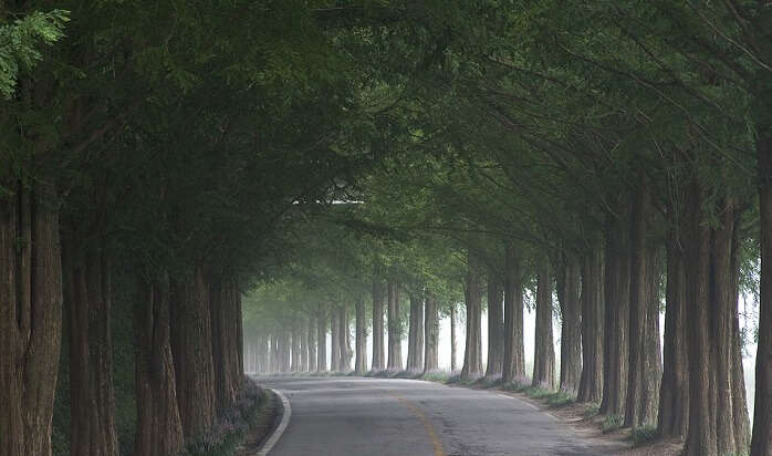 Metasequoia Tree Road, Shiga