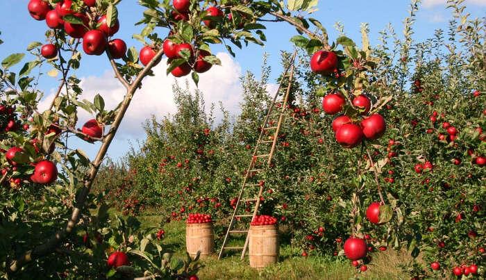 Apple Gardens