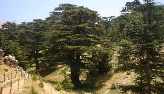 Cedar Forests View