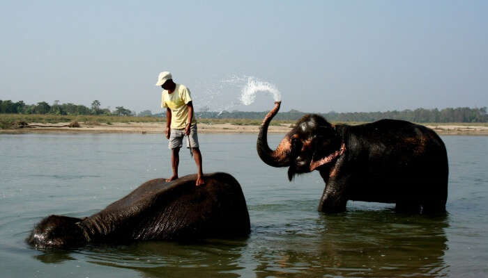 man bathing elephants