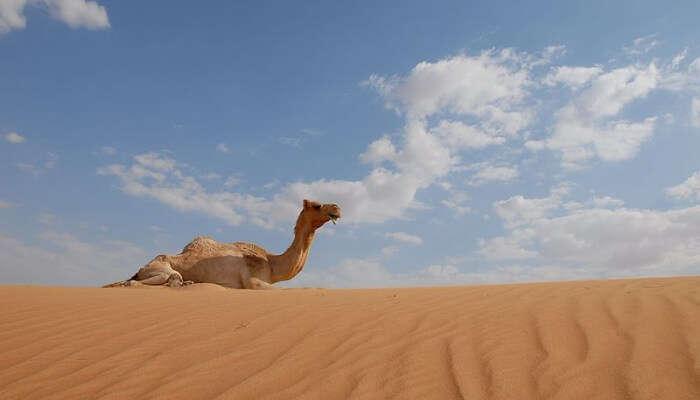 Camel sitting on the desert