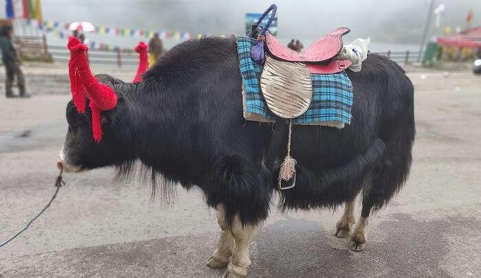 yak image