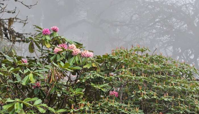Rhododendron Trees and Forests