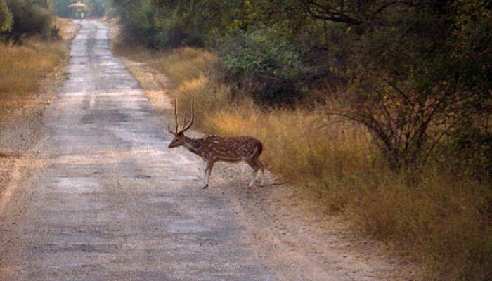 Deer In Sariska Sanctuary