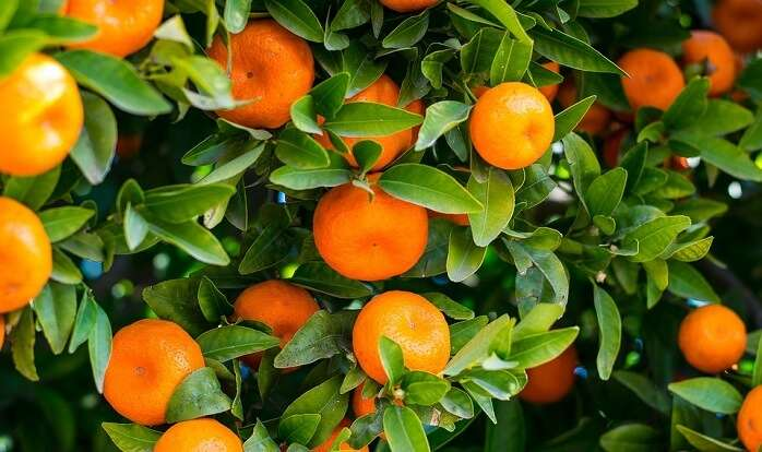 Leaf Food Nature Fruit Oranges Garden Juicy