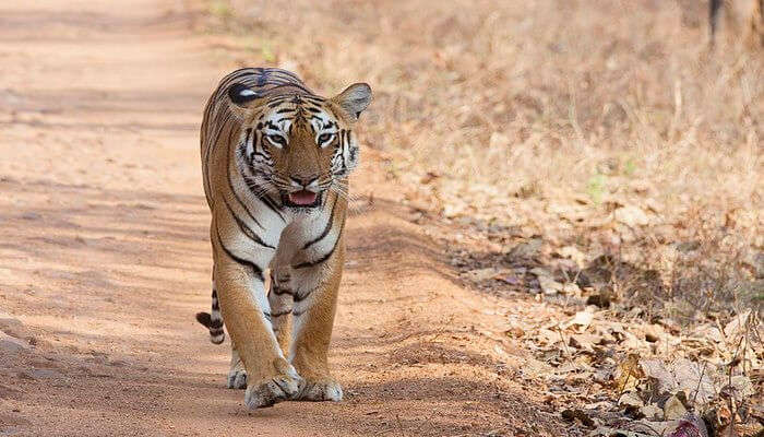 oldest tiger reserve in Maharashtra