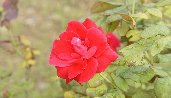 Zakir Hussain Rose Garden in Himachal