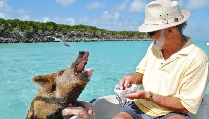 man feeding a pig
