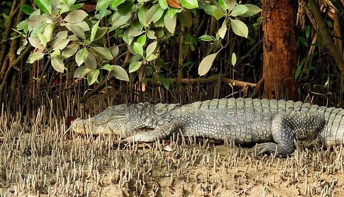 Crocodile Spotting Offbeat Things  To Do In Goa