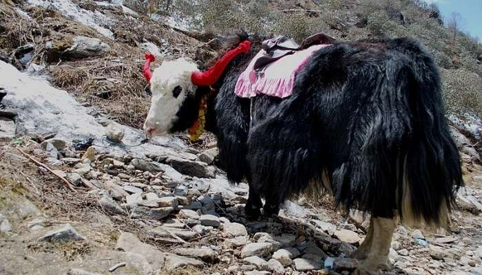 Enjoy Yak Rides at kufri, Himachaa