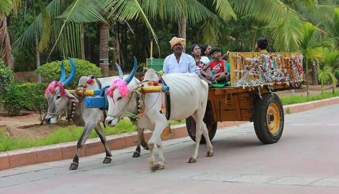 Bullock ride
