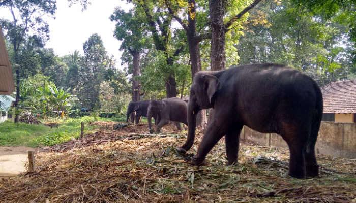 Kodanad Elephant Training Centre, Kerala