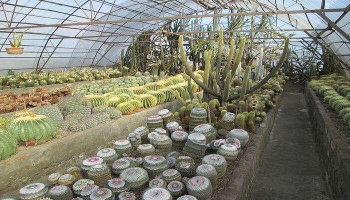 Pinewood Cactus