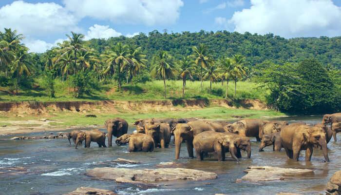 Pinnawala Elephan