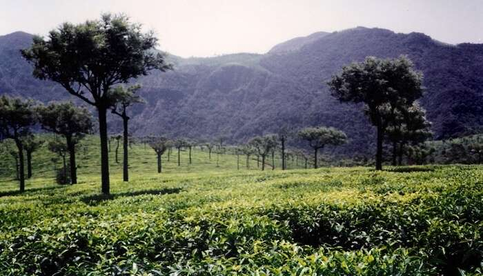 Looking for offbeat places to visit in Ooty then get to the Tea Park