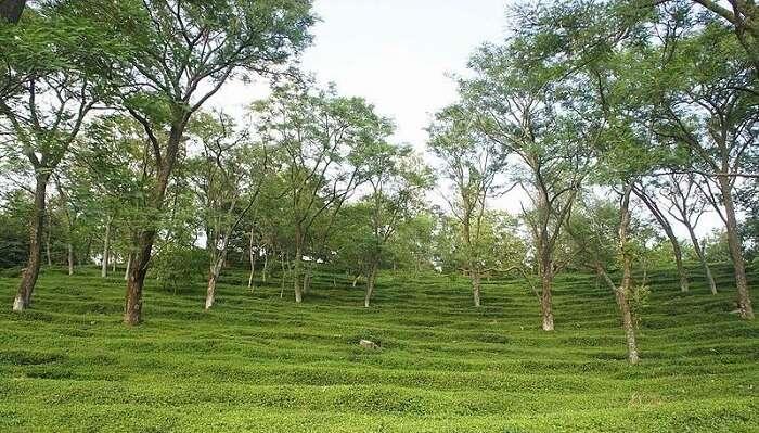 tea garden in Dharamshala