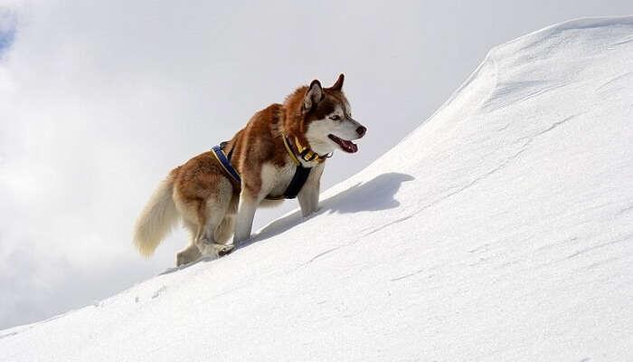 800px-Brown-White_Husky_Climbing