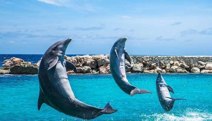 dolphins playing together and jumping in the water