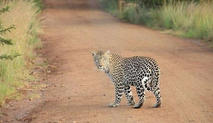 watching a live leopard is a great adventure experience
