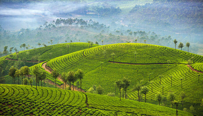 munnar tea plantations view