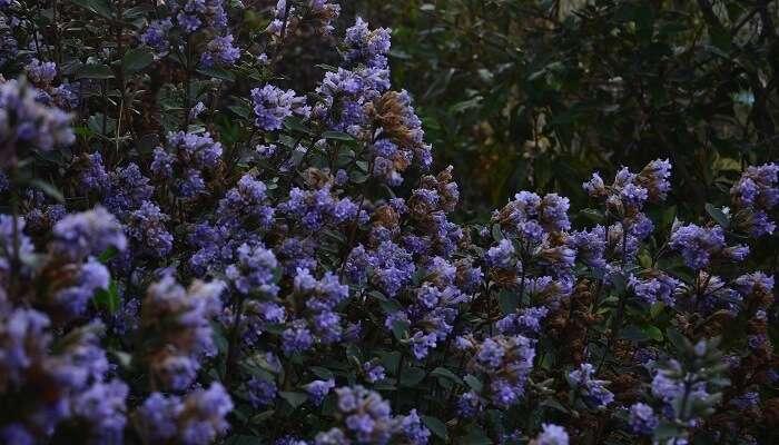 Neelakurinji Blooms