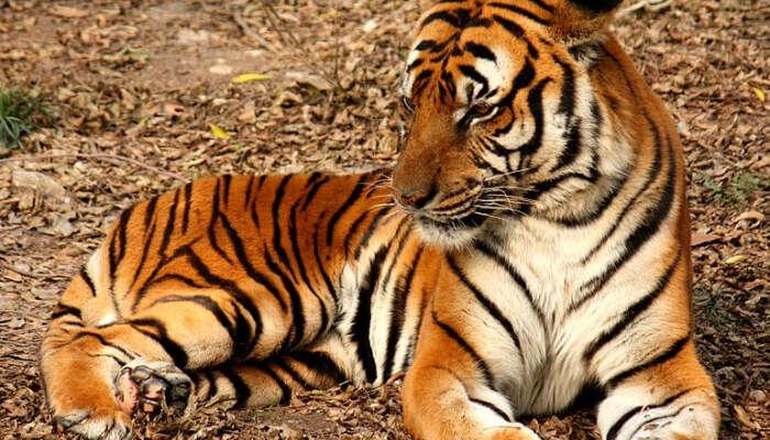 Suedchinesischer Tiger