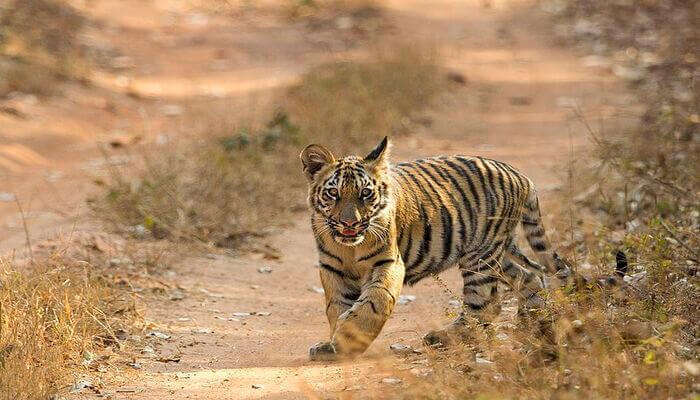 see a glimpse of a tiger