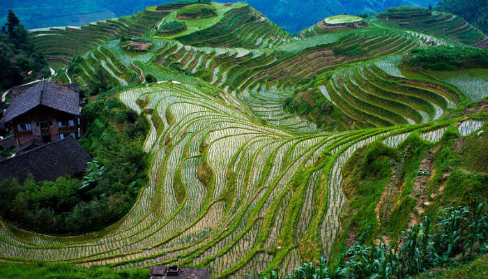 The Longji Rice Terraces, Guilin