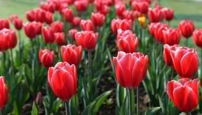 A Large Variety Of Tulips