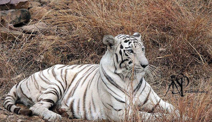 tiger view in van vihar