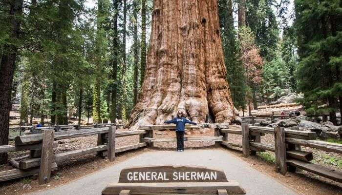 Ancient Giant Sherman Tree